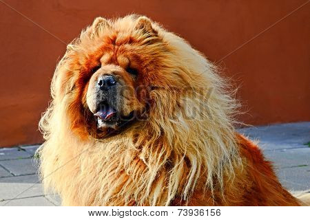 Portrait Of Brown Hairy Friendly Chow-chow Dog