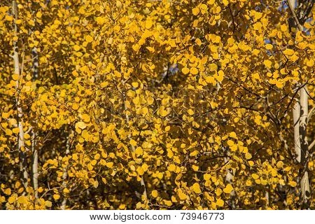 Close Up Of Autumn Yellow Quaking Aspen Leaves