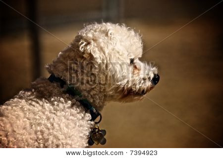 Profile of a Bichon Frise