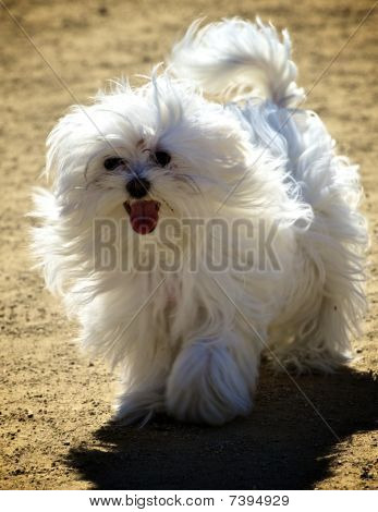 Playful Fluffy White Dog