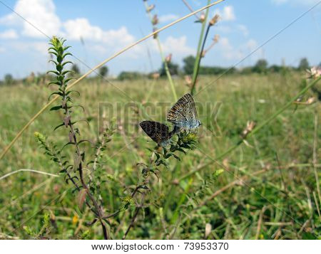 Butterflies Of Silver-studded Blue On The Blade