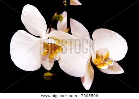 Two Orchid