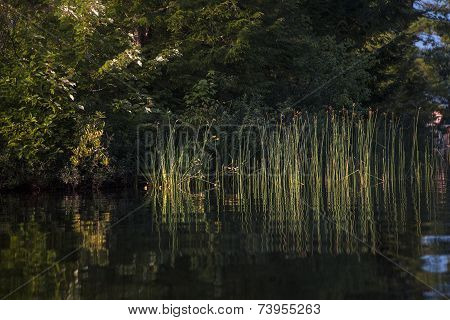 Sunlit reeds reflected in calm river