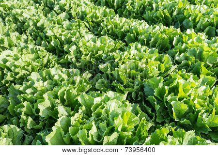 Closeup Of Rows Of Endive Plants In The Field