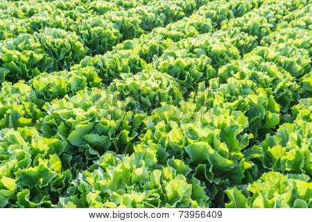 Rows Of Endive Plants In Farmland