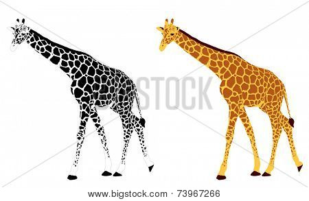 detailed illustration of giraffe