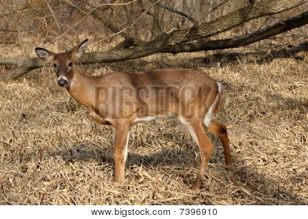 Whitetail Deer Young Buck