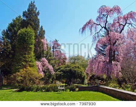 Elegant garden with magnificent old cherry tree in bloom