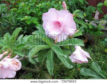 field of pink roses (Rosaceae)