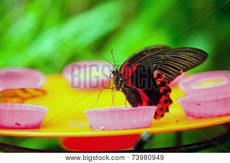 The Red Mormon Butterfly Feeding