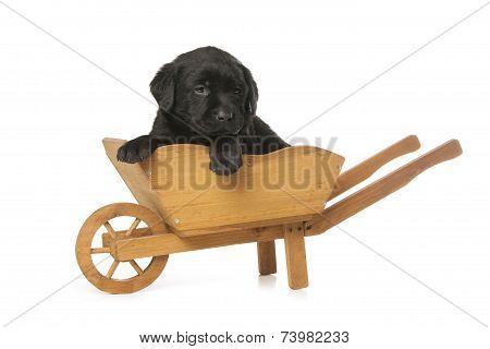 Labrador Retriever Puppy Is Sitting In Hand Truck