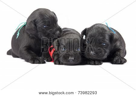 Three Black Puppies Of Miniature Schnauzer