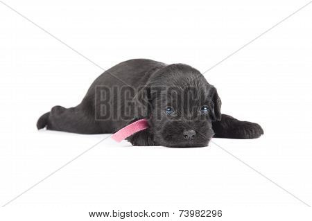 Black Puppy Of Miniature Schnauzer
