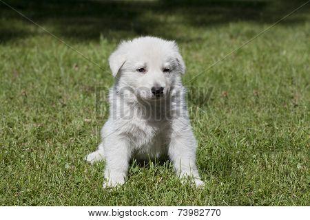White Shepherd`s Puppy