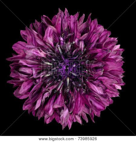 Purple Cornflower Flower Isolated On Black Background