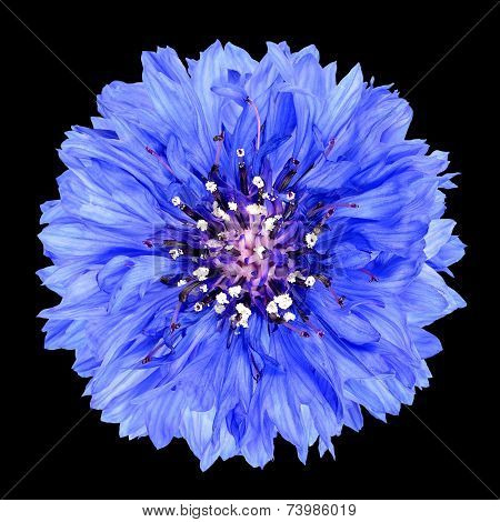 Blue Cornflower Flower Isolated On Black Background