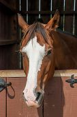 picture of stable horse  - A brown and white horse peeks over a wooden stable door  - JPG