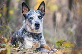 foto of cattle dog  - Beauty Australian cattle dog lying amongst autumn leaves - JPG