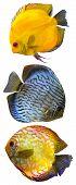 foto of fish skin  - Discus for aquarium saltwater fish isolated wildlife - JPG