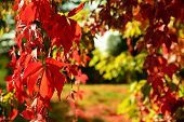 picture of creeper  - Red Virginia creeper in autumn beautiful photo scenery for template - JPG