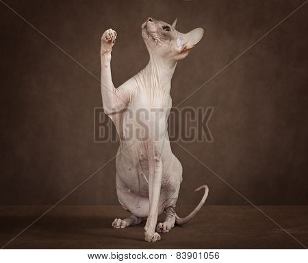 Sphynx Cat With Paw Up