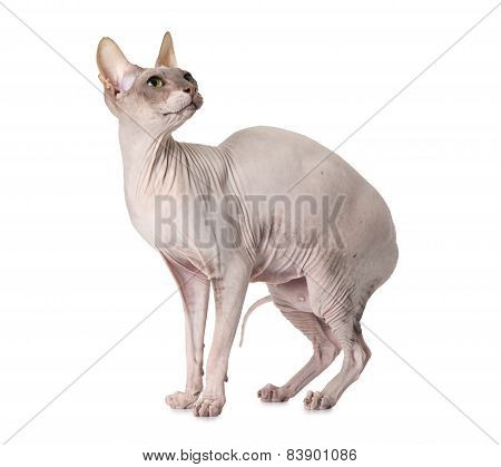 Don Sphinx Cat Over White