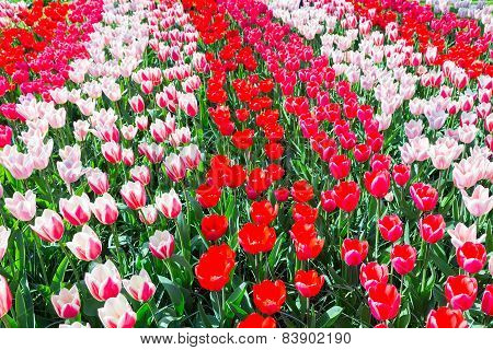 Tulip field with various red tulips in rows