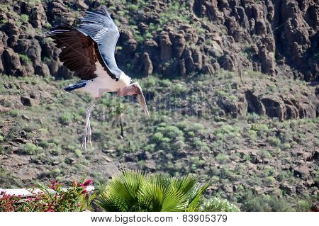 Big Flying Marabou Stork