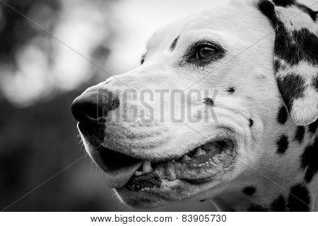 Nice Dalmatian Face
