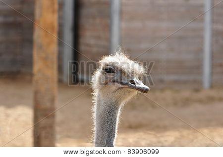 Questioning Ostrich