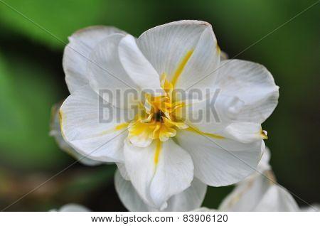Paper White Blossom