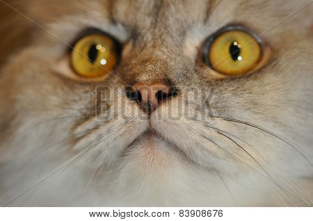Persian Nose