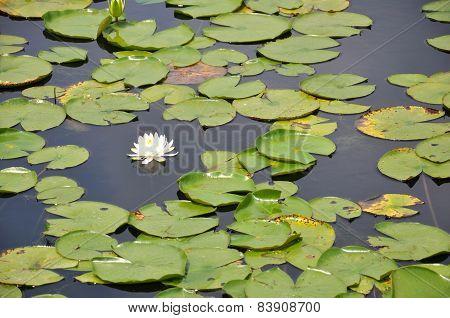 A Single White Lilypad Bloom