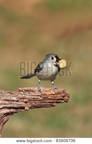 Hungry Tufted Titmouse (baeolophus Bicolor)