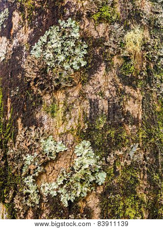 Lichens And Moss On Tree Trunk
