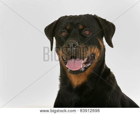 Face Of Rottweiler Dog