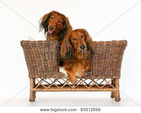 Two Longhaired Dachshund Dogs In Dog Sofa