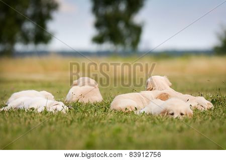 Six Golden Retriever Puppies