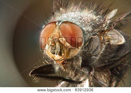 Super-macro fly