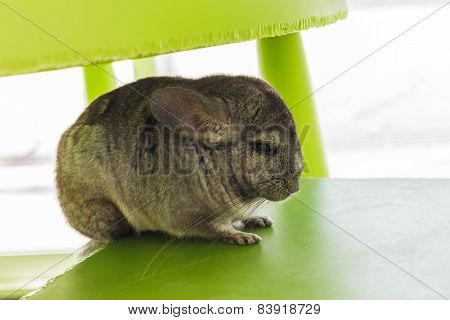 Chinchilla Grey Color, Sitting In Chair