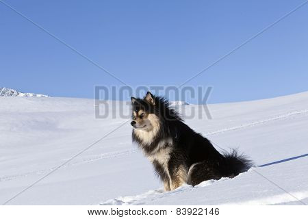The Finnish Lapphund, male in it´s habitats, biotope.
