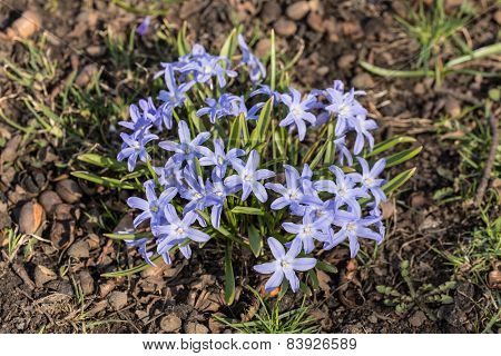 Blue Flowers Chionodoxa