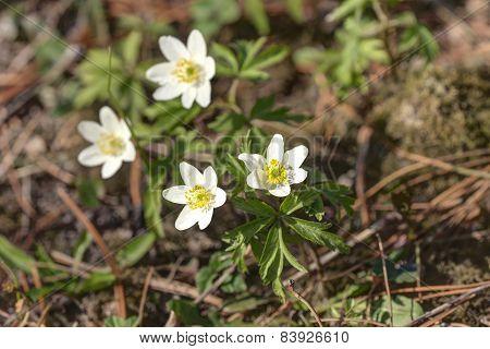 Anemone In Spring