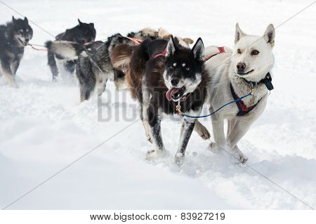 Kamchatka Dog Sled Racing Beringia
