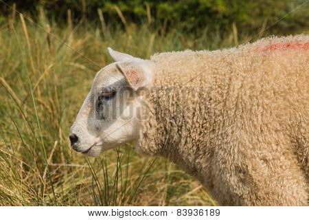 Sheep In Grass In Summer Close-up