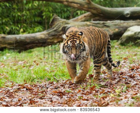 Sumatran Tiger Licking Lips