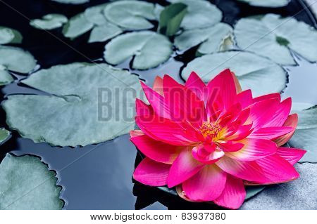 Red Waterlily Or Lotus Blossom