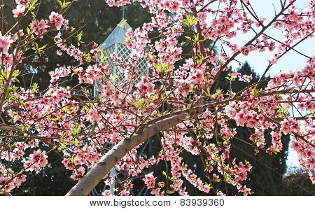 Turkish Spring, Cherry Blossoms