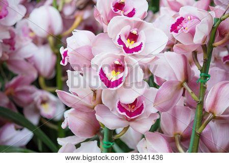 Cymbidium Orchid Flower
