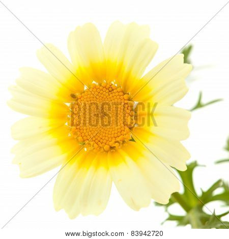 Garland Chrysanthemum Isolated On White